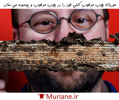 خسارات ناشی از موریانه