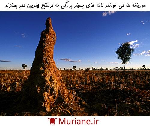 موریانهها