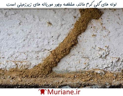 موریانه زیرزمینی