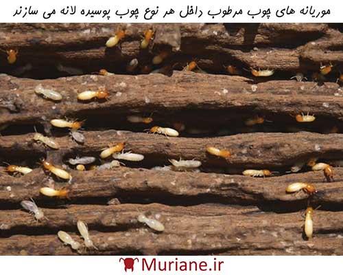 لانه سازی موریانه های چوب مرطوب در چوب های پوسیده