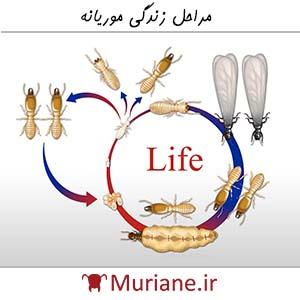 مراحل زندگی موریانه